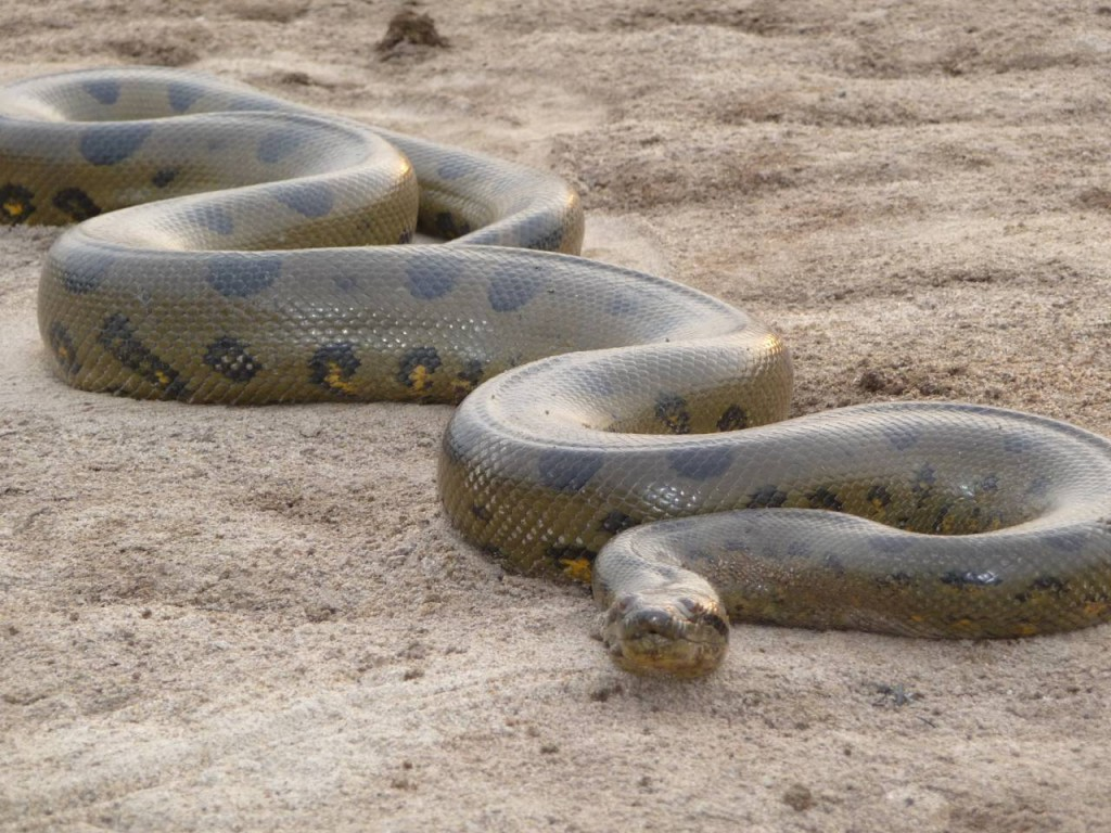 Anaconda 01.jpg